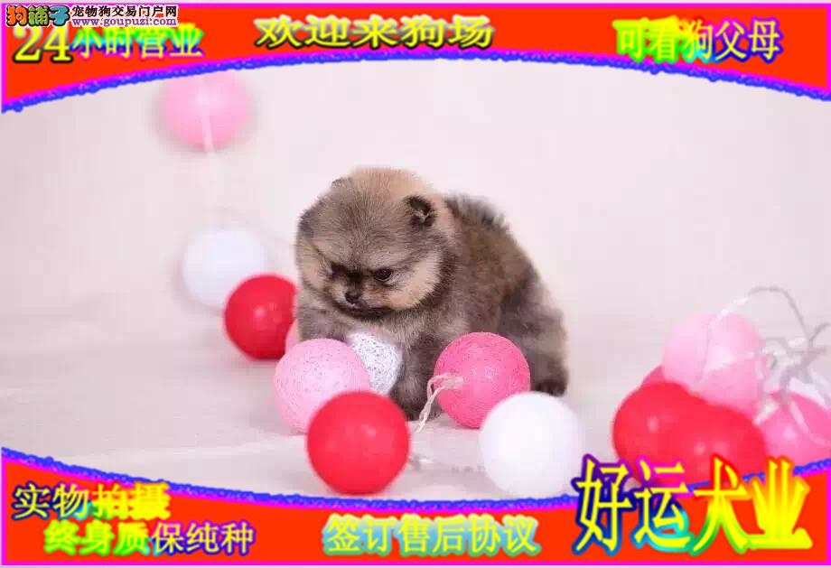 博美哈多利球体,犬舍专业繁殖,多只幼犬出售