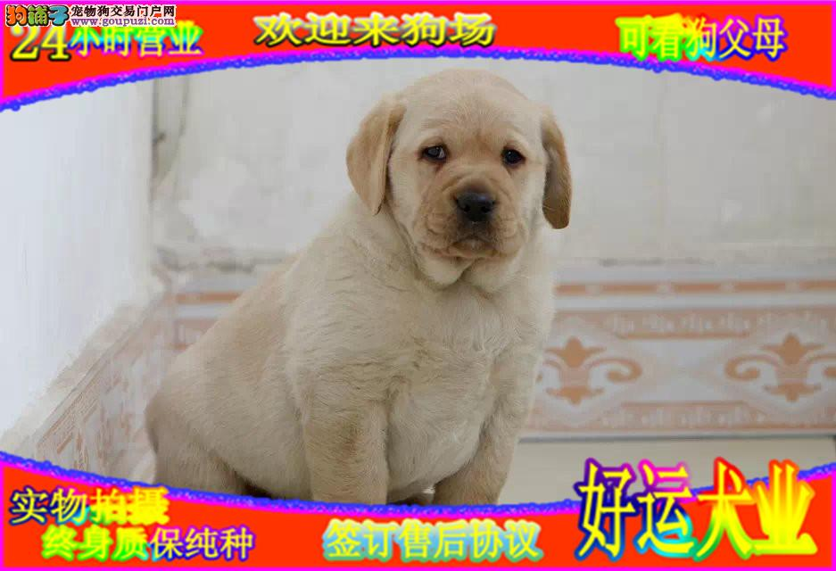 冠军血统纯种赛级拉布拉多幼犬出售,可看大狗