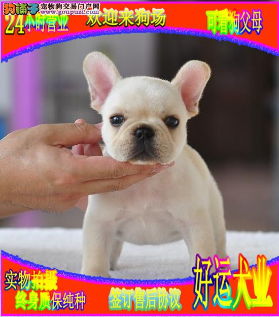 法国斗牛犬  专业犬舍繁育  多只幼犬终身质保纯种