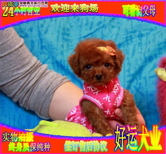 卡哇伊纯种可爱泰迪宝宝出售,欢迎上门看狗