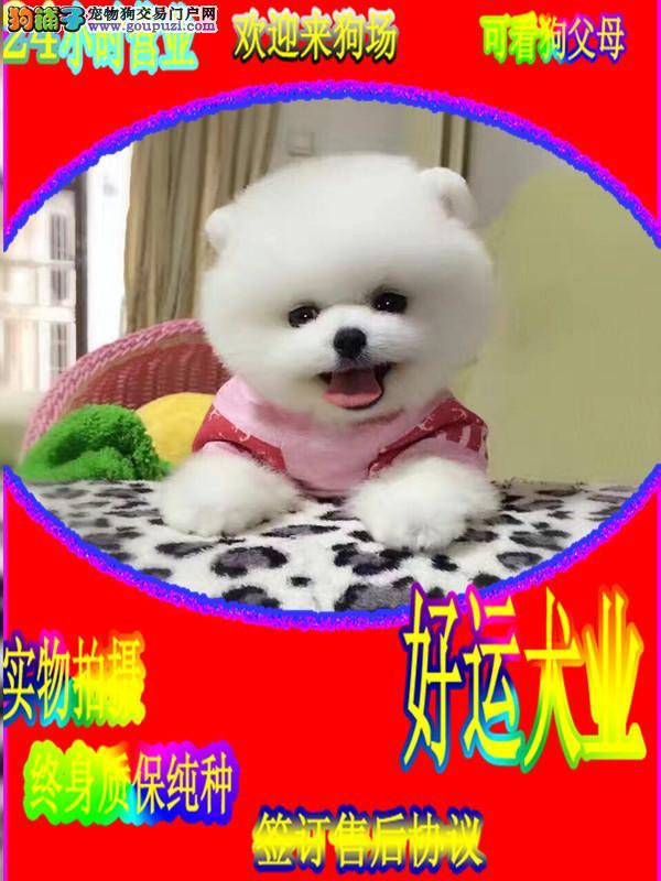 博美犬,博美幼犬,博美哈多利球体,博美俊介犬出售