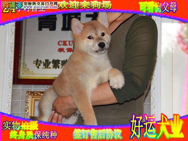 犬舍八折优惠出售,纯种柴犬幼犬实物拍摄