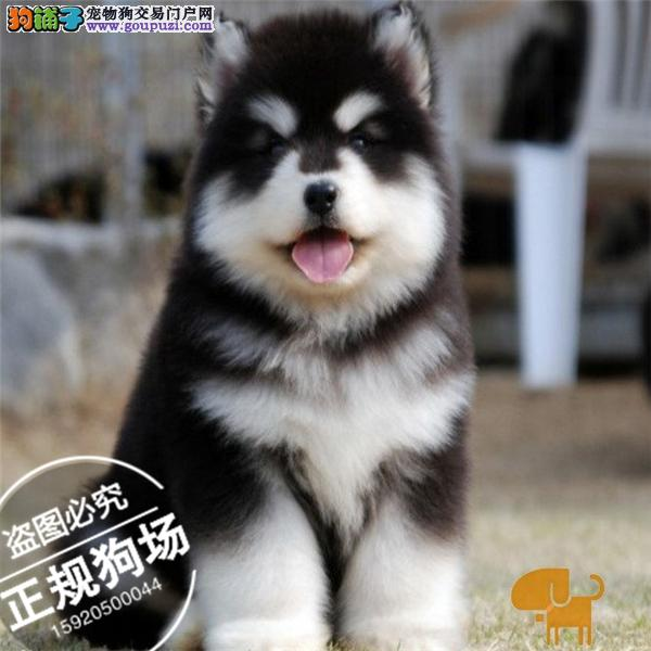 常年出售纯种阿拉斯加犬 专业缔造完美品质签订协议