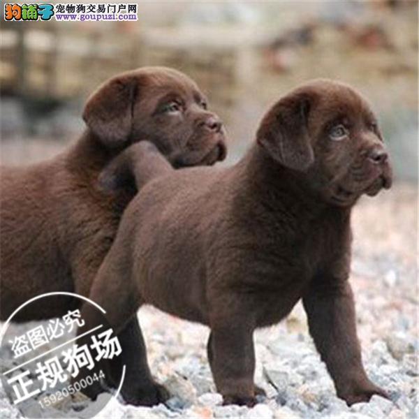 CKU犬舍出售纯种拉布拉多 专业繁育 品质保证