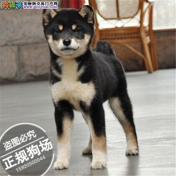 纯种健康 日版柴犬幼犬 3600起步 可送货 可刷卡