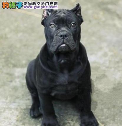 黄浦自家繁殖卡斯罗犬出售公母都有可签合同刷卡