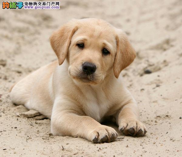 CKU权威认证__骨架、毛量一等级的拉布拉多幼犬售出
