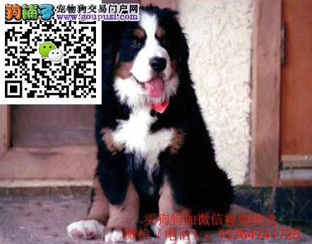 出售纯种伯恩山'幼犬,品质健康有保障