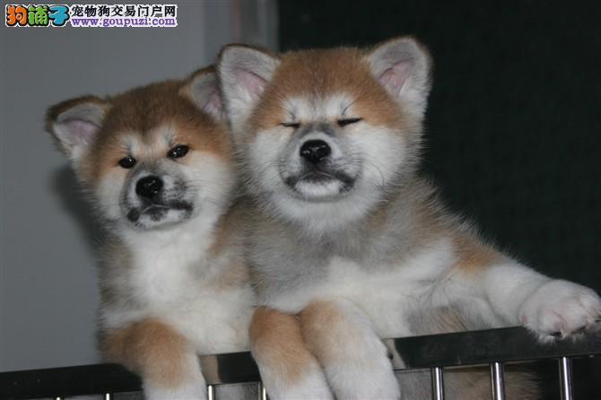 秋田犬怎么样 秋田犬多少钱一只 在哪里买秋田有保障