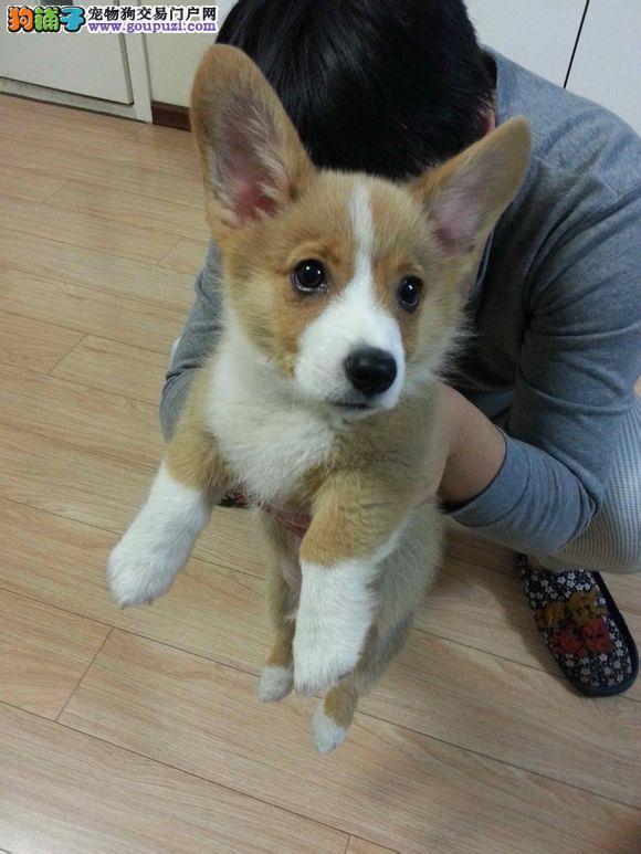 在哪里买柯基有保障 在哪里可以买到健康纯种的柯基犬