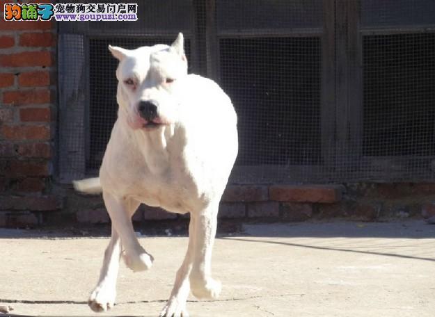 在哪里买杜高有保障 在哪里可以买到健康纯种的杜高犬