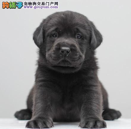 哪里出售拉布拉多导盲犬幼犬 拉布拉多幼犬多少钱一只