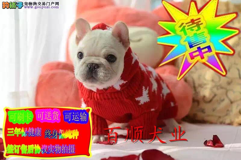 现在网络最火的宠物犬,小法牛。加微信可以看狗
