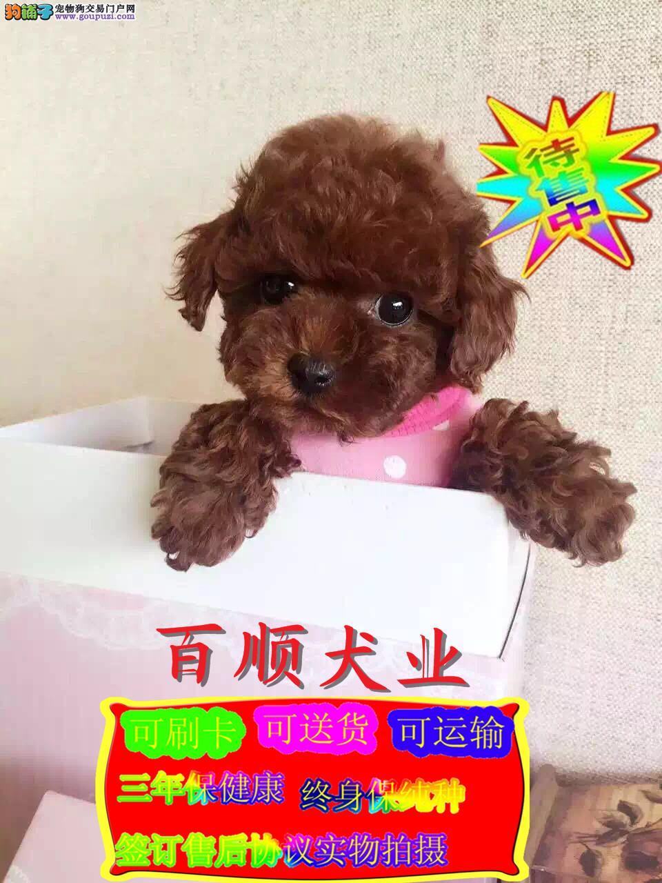 玩具,茶杯,迷你体,卷毛苹果脸纯种泰迪宝宝出售