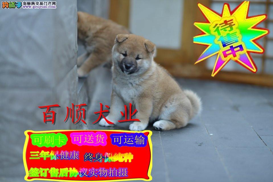 纯种日系柴犬丿三个月包退换丿送用品 签协议包养活