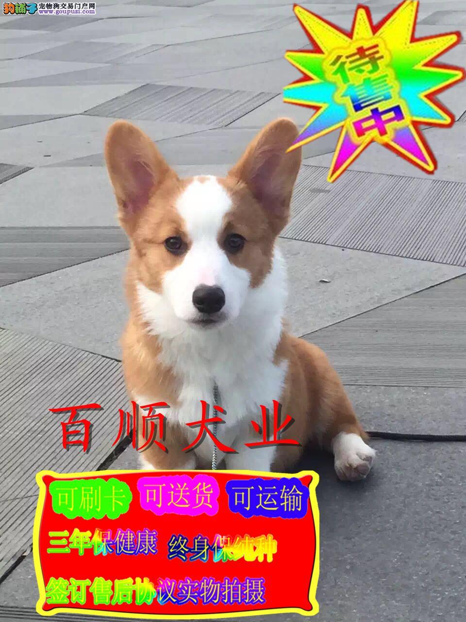 柯基犬专业繁殖犬舍常年出售柯基幼犬两色三色带芯片