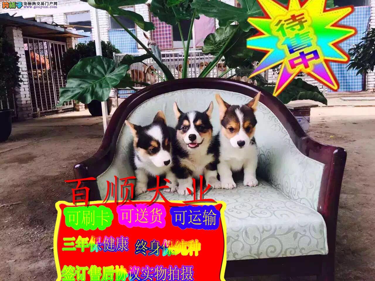 出售柯基犬,三色两色柯基犬,通脖通缝签协议