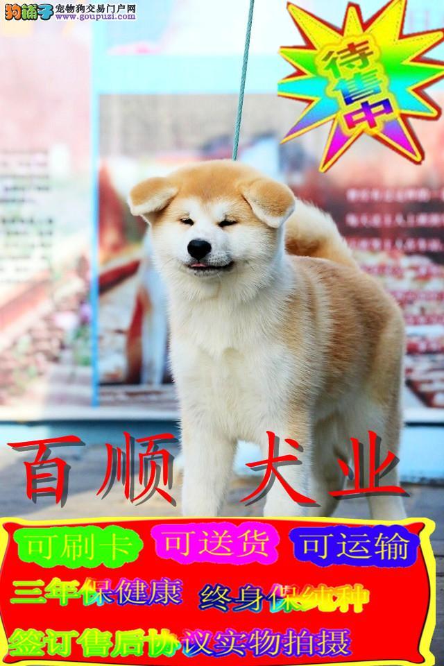 日系秋田犬,美系秋田犬 ,纯种售后好,签质保