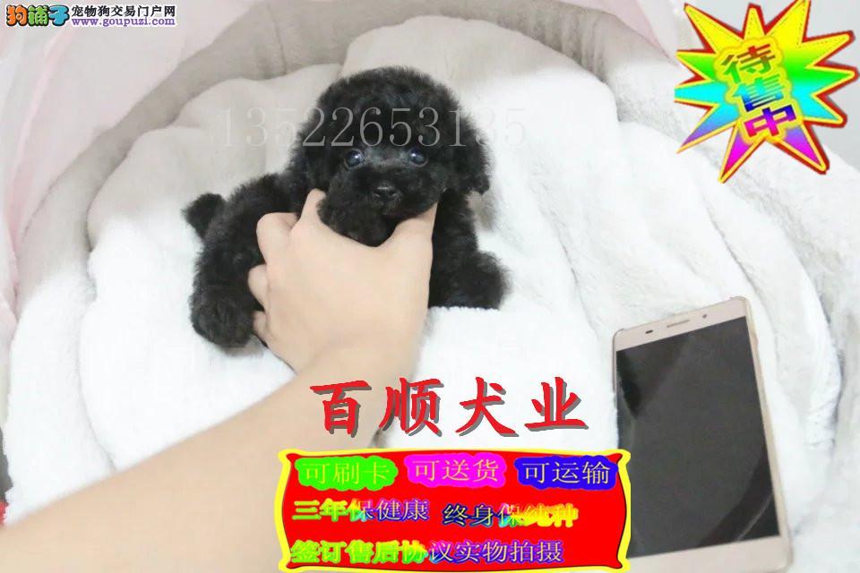 泰迪幼犬颜色全数量多 可以来场挑选
