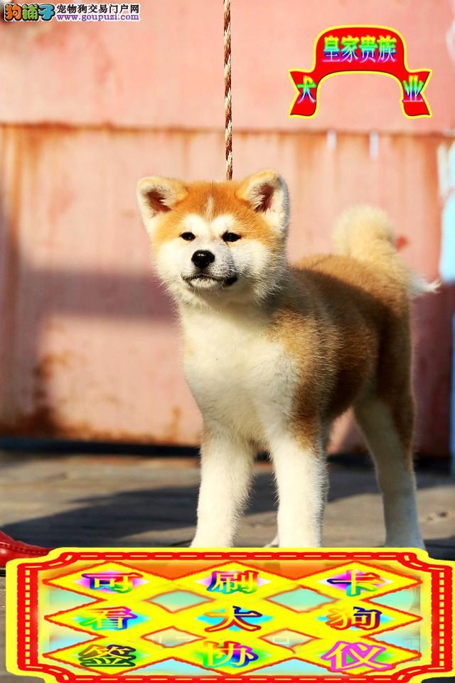 日系秋田犬, 公母都有,包纯种,有血统证,带芯片