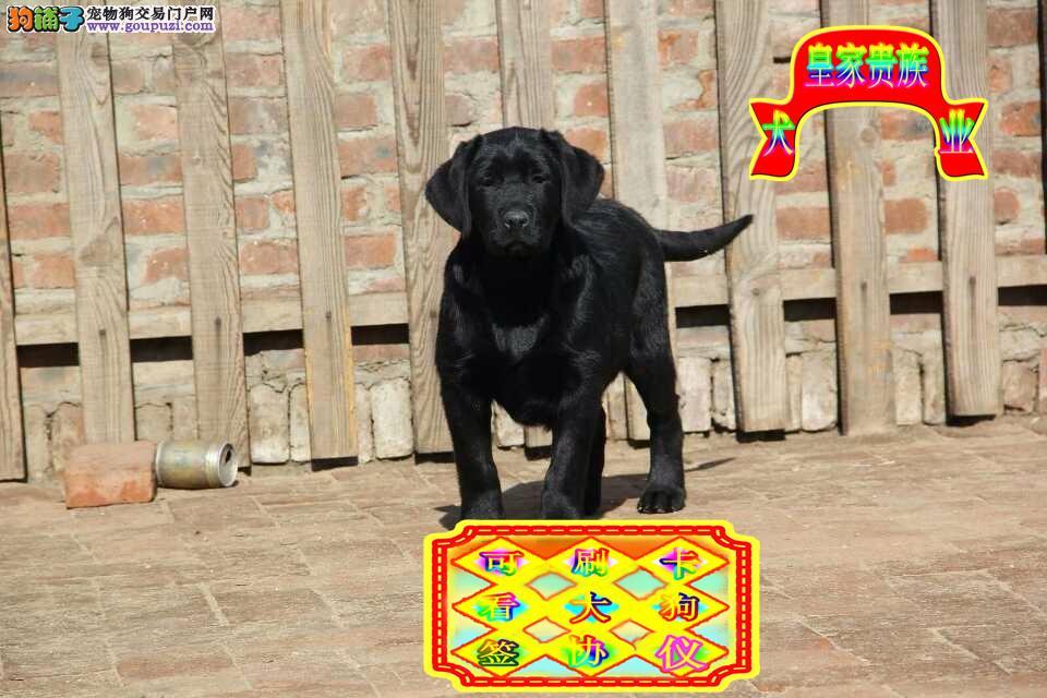 冠军血统,赛级精品,纯种拉布拉多犬,出售幼犬