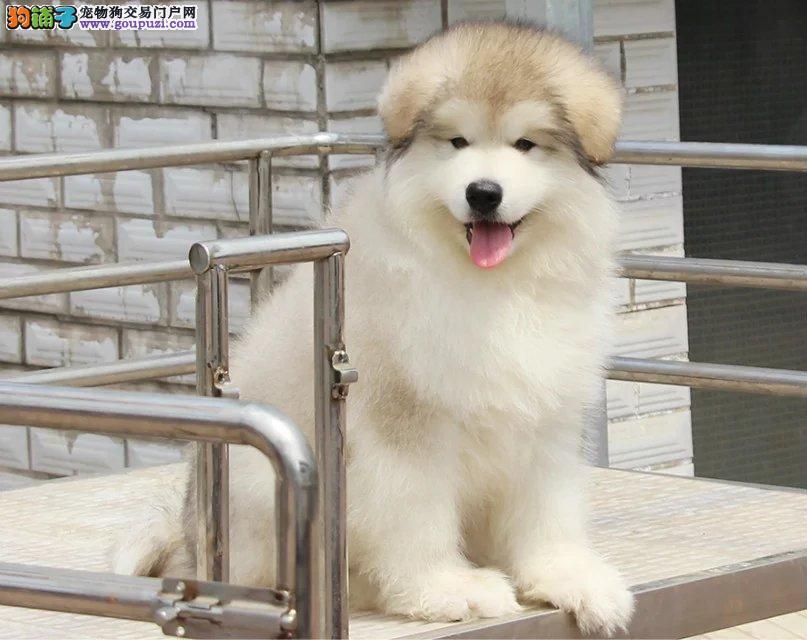 熊版十字脸桃脸阿拉斯加犬,阿拉斯加幼犬宝宝出售