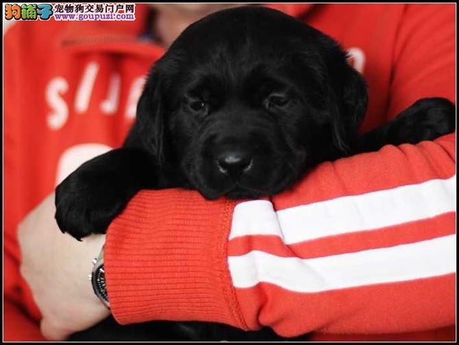 拉布拉多多少钱苏州什么地方能买到纯种的拉布拉多小狗
