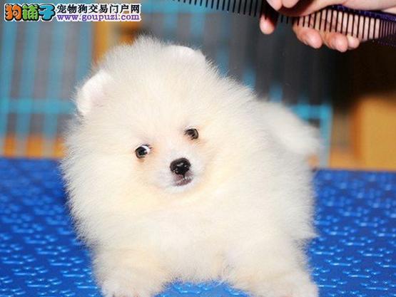 苏州哪里卖博美犬 苏州博美犬多少钱一只 苏州宠物店