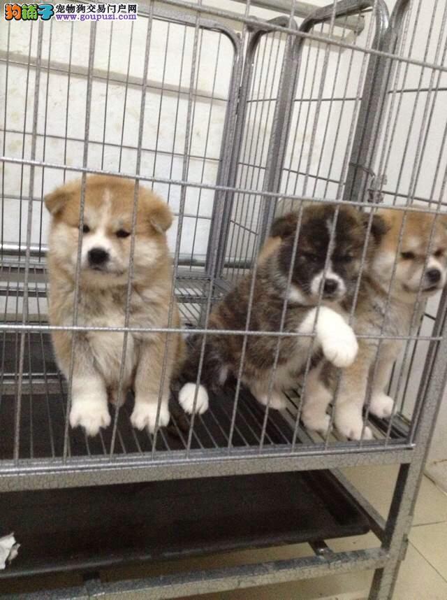 柴犬成年多大 苏州哪里卖柴犬 极品柴犬怎么卖的