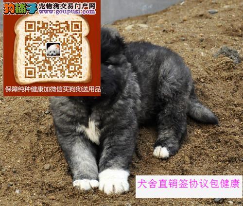 高加索猛犬护卫犬大头大骨量毛量、纯种健康、包售后