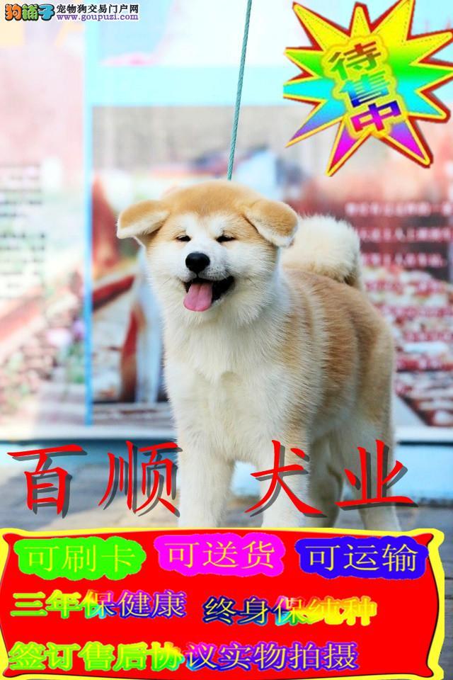 高品质的日系秋田幼犬出售了 疫苗做完 质量三包