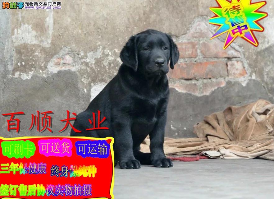 精品拉布拉多犬,赛级血统,正规犬舍繁殖