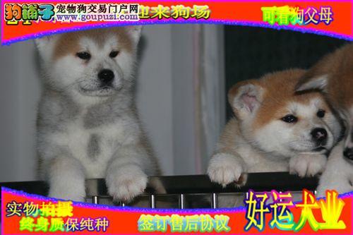 纯种日系秋田犬,正规犬舍繁殖,带证书 秋保 可查