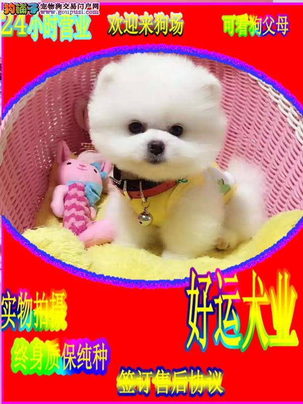 哈多利纯种球体博美犬,多只幼犬出售 不掉毛无体臭