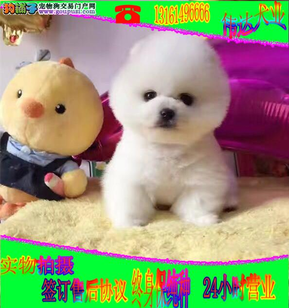 小型犬博美 哈多利球体博美 俊杰犬