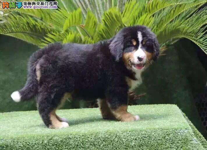 伯恩山 高品质伯出售纯种伯恩山幼犬