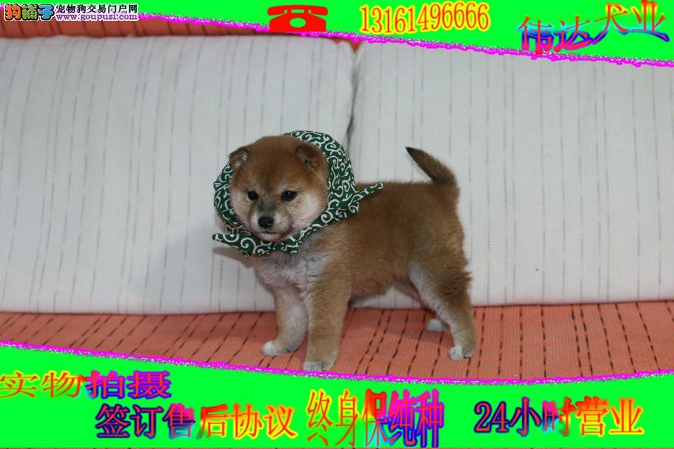 犬舍出售柴犬 纯种健康的柴犬幼犬