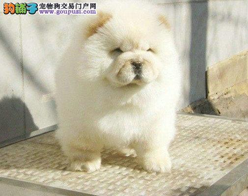 精品松狮幼犬出售毛色好 血统纯正 签协议包养活