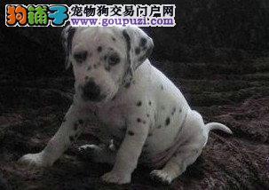 出售斑点狗喜欢的联系