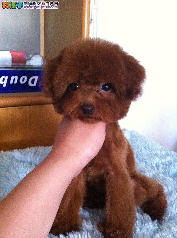 贵宾犬多少钱一只哪里有卖贵宾犬图片