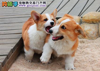 犬舍专业繁殖柯基犬送用品签购犬合同让你购犬路上无忧