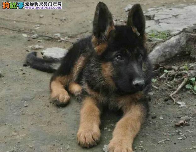 纯种黑背狼狗签定协议 常年售卖 包纯种包健康