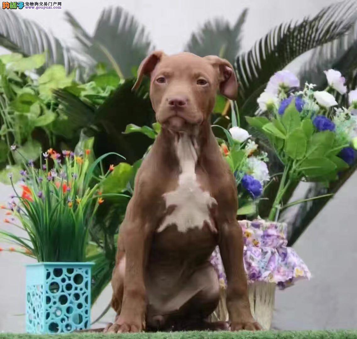 纯种比特犬出售中欢迎挑选