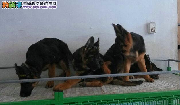 专业繁殖一高品质马犬一保证健康纯种一送用品
