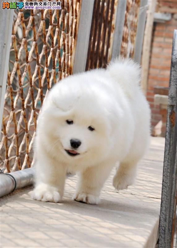 犬舍直销各种世界名幼犬30多个品种 包纯种健康