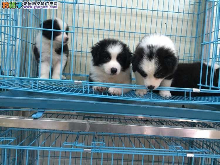 重庆狗场直销各种世界名犬 30多个品种包纯种健康