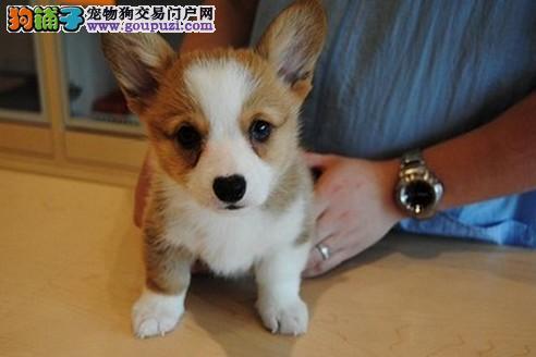 重庆正规犬舍直销各种世界名犬 包纯种包健康