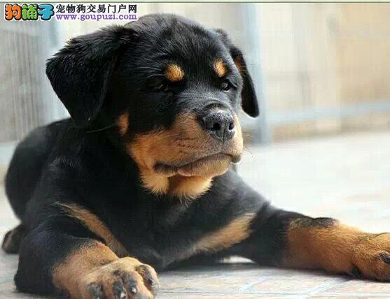 犬舍直销各种世界名犬 包纯种健康 全国托运