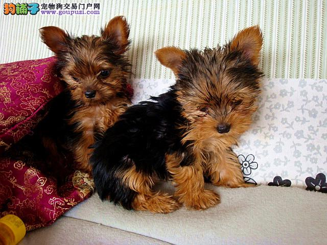 狗场直销各种世界名幼犬 纯种健康有保障