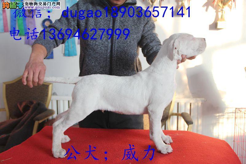 哈尔滨赛级杜高幼犬三个月出售